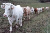 Nos vaches allaitantes